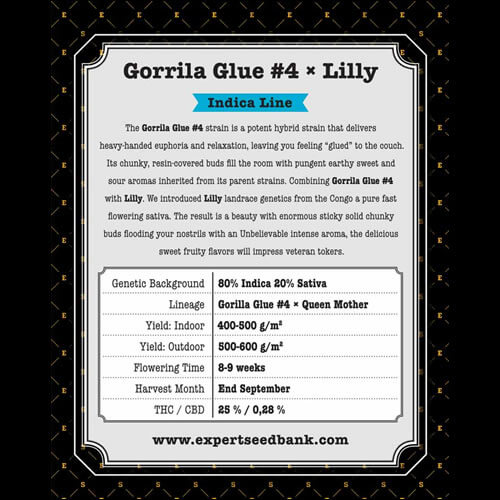 GG 4 × Lilly2