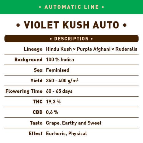 Violet Kush Auto1