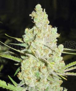 medical seeds 1024