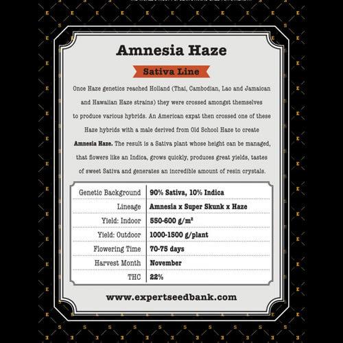 amnesia haze bulk2