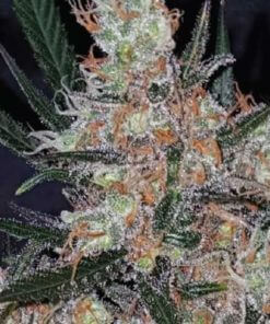 diesel berry cough bulk2