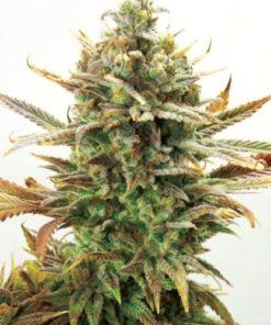 super critical bud cbd bulk2
