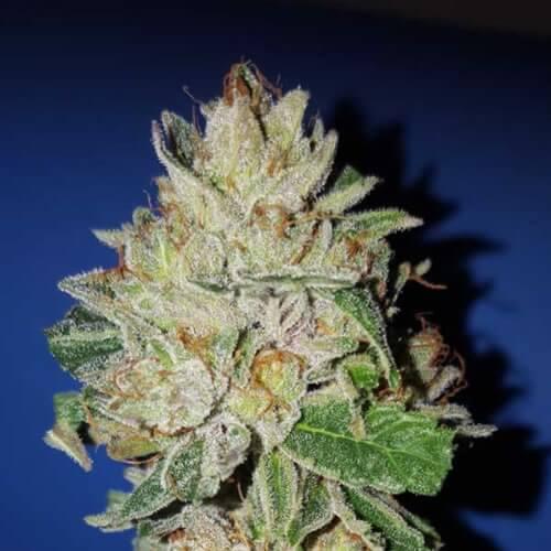 violet kush bulk2