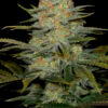 AmnesiaCBD-Dinfaem-Cannabis-Seeds-Irish-Seed-Bank