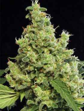 Blue-Hash-Cannabis-Seeds-Dinafem-Irish-Seed-Bank