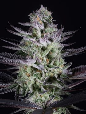 Blueberry-Cookies-Dinafem-Cannabis-Seeds-Irish-Seed-Bank