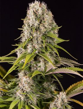 Diesel-Buy-Cannabis-Seeds-Dinafem-Irish-Seed-Bank