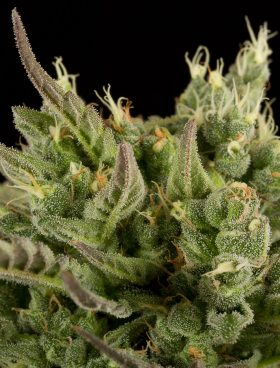 Dinfaem-Deep-Cheese-Cannabis-Seeds-Irish-Seed-Bank