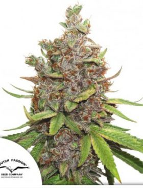 Glueberry-OG-Dutch-Passion-Cannabis-Seeds-Irish-Seed-Bank