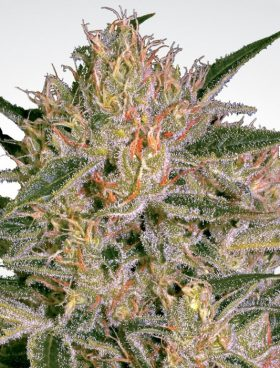 Nebula-CBD-II-Paradise-Seeds-Buy-Cannabis-Seeds-Irish-Seed-Bank.
