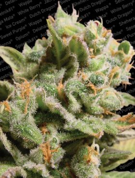 Paradise-Seeds-Irish-Seed-Bank-Cannabis-Seeds-Dutch-Dragon