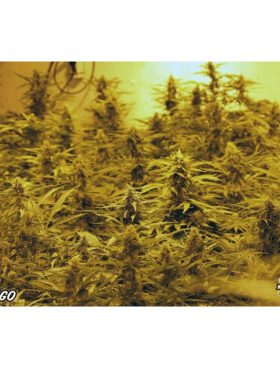 Paradise-Seeds-Vertigo-Cannabis-Seeds-Irish-Seed-Bank
