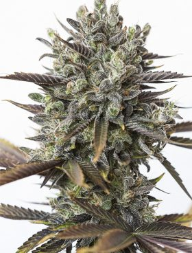 Purple-Orange-CBD-CBD-Cannabis-Seeds-Dinafem-Irish-Seed-Bank