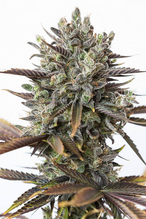 Purple-Orange-CBD-CBD-Cannabis-Seeds-Dinafem-Irish-Seed-Bank