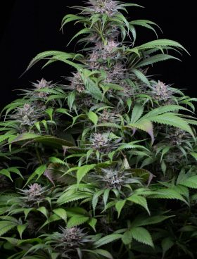 Dinafem Cannabis Seeds - Quick Kush - Irish Seed Bank