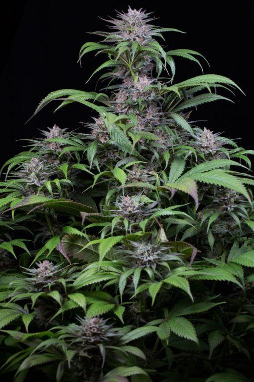 Dinafem Cannabis Seeds - Quick Kush - Irish Seed Bank