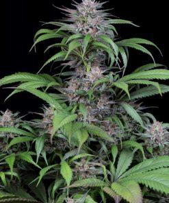 Quick Kush - Dinafem - Cannabis Seeds - Irish Seed Bank