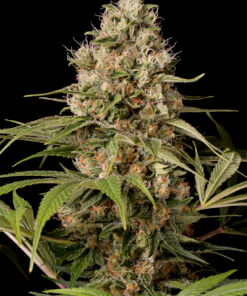 Shark-Shock-CBD-Dinafem-CBD-Cannabis-Seeds-Irish-Seed-Bank