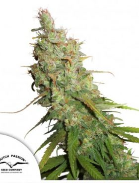 auto-desfran-dutch-passion-cannabis-seeds-irish-seed-bank