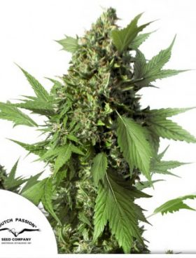auto-duck-cannabis-seeds-dutch-passion-irish-seed-bank