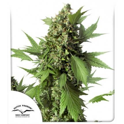 auto-duck-cannabis-seeds-dutch-passion-irish-seed-bank