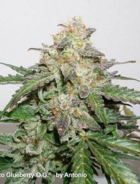 auto-glueberry-og-cannabisseeds-irishseedbank