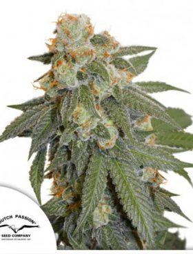 auto-orange-bud-dutch-passion-cannabis-seeds-irish-seed-bank