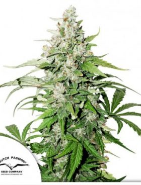 auto_cindrella_jack_dutchpassion_cannabis_seeds_irish_seed_bank