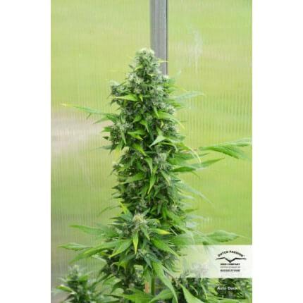 autoduck cannabis seeds irish seed bank dutch passion