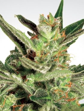 automaria-paradise-seeds-cannabis-seeds-irish-seed-bank