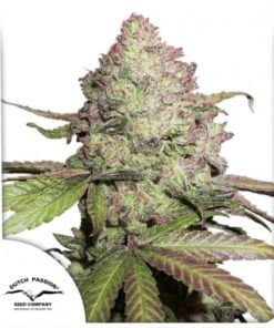 cbd-auto-charlottes-angel-dutch-passion-cannabis-seeds-irish-seed-bank