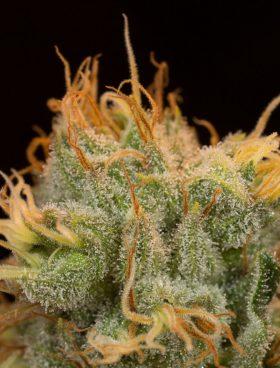 dinafem-orangejuice-cannabis-seeds-irish-seed-bank