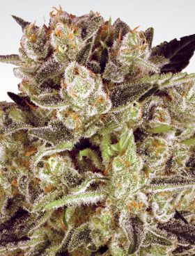 durga_mata_cbd_cannabis_seeds_paradise_seeds_irish_seed_bank