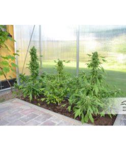 dutch-passion-auto-duck-cannabis-seeds-irish-seed-bank