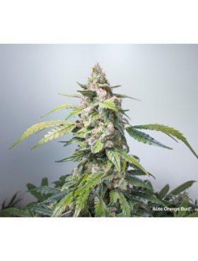 orange-bud-auto-dutch-passion-cannabis-seeds-irish-seed-bank