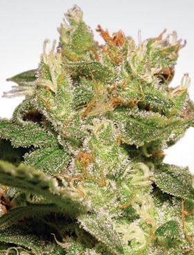 paradise-seeds-autojack-cannabis-seeds-irishseedbank