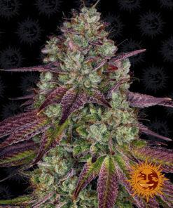 Top 10 High THC